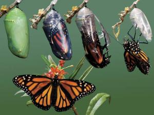 Butterfly_Adult_Emerging_Chrysalis_all_steps